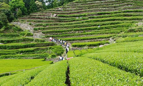奥長島のだんだん茶畑